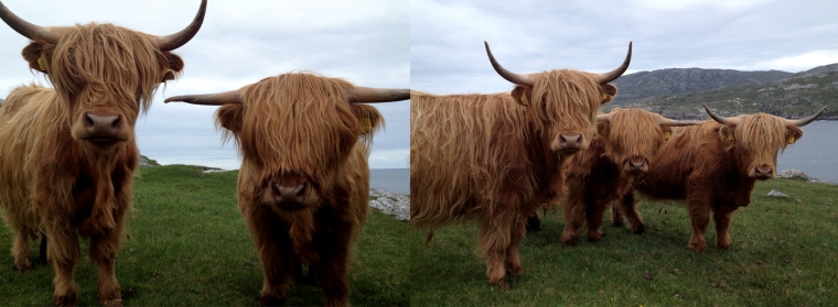 h_cows